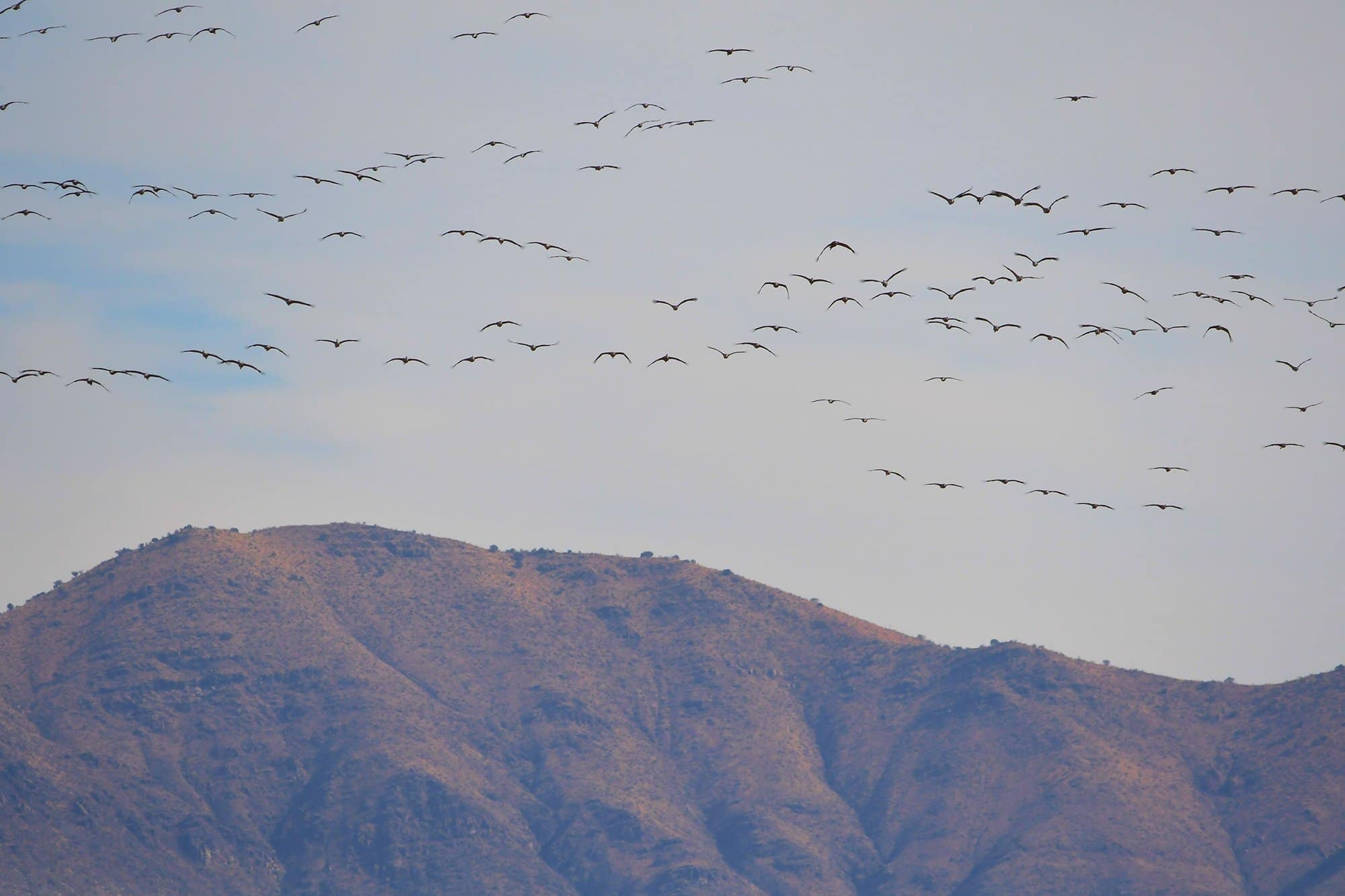 see the sights in southern Arizona: thousands of sandhill cranes arriving at whitewater draw