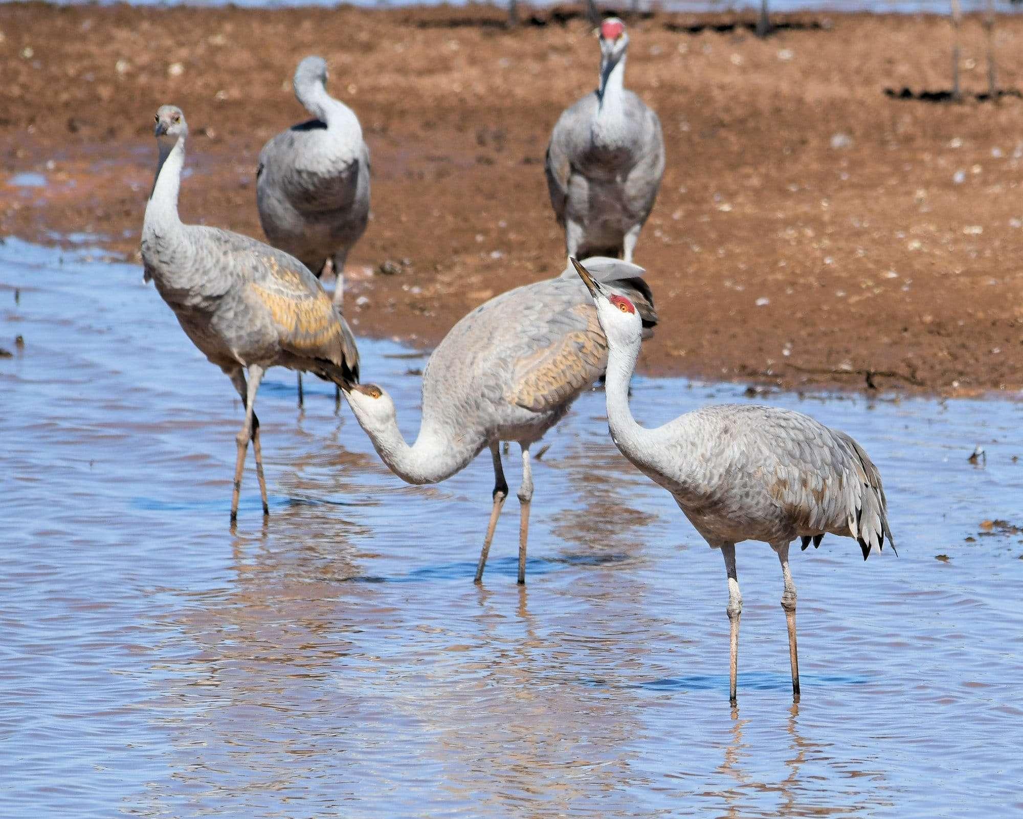 sandhill cranes drinking