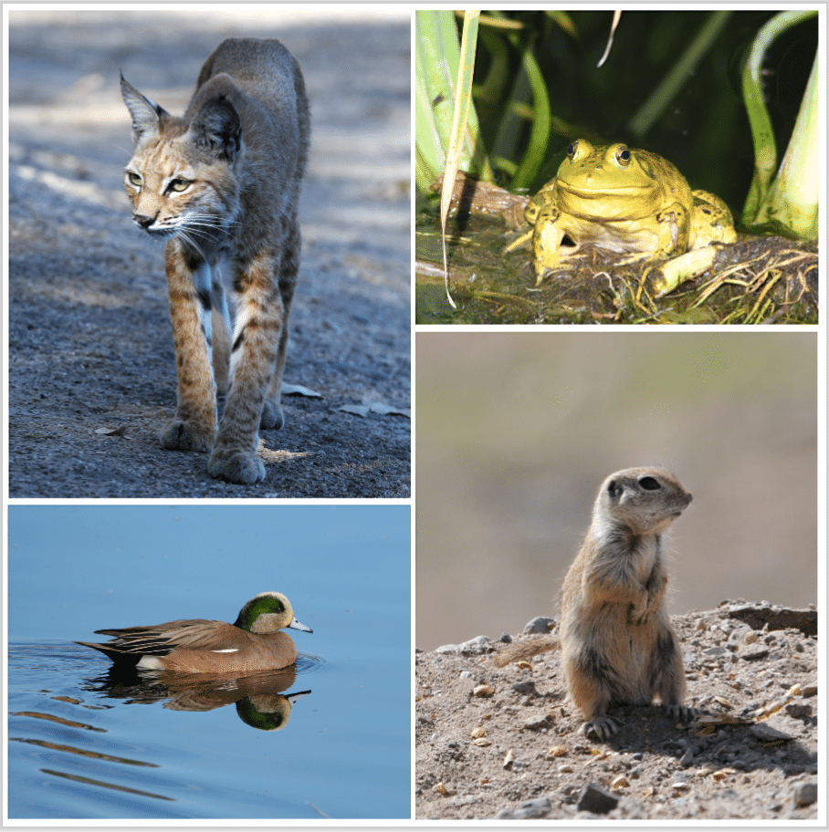 Fun and free things in Tucson: Bobcats, frogs, ducks, Sonoran ground squirrels, and many more creatures can be viewed at Sweetwater Wetlands Park