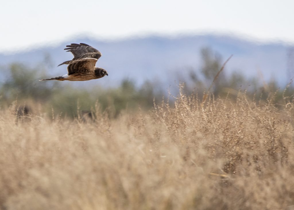 marsh hawk flying over yellow grass with mountains in the background
